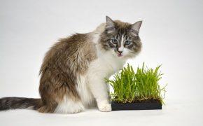 Katzengras Pflege