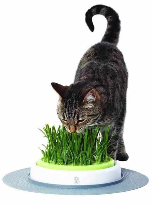 Katzengras Pflege Tipps