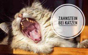 zahnstein bei Katzen