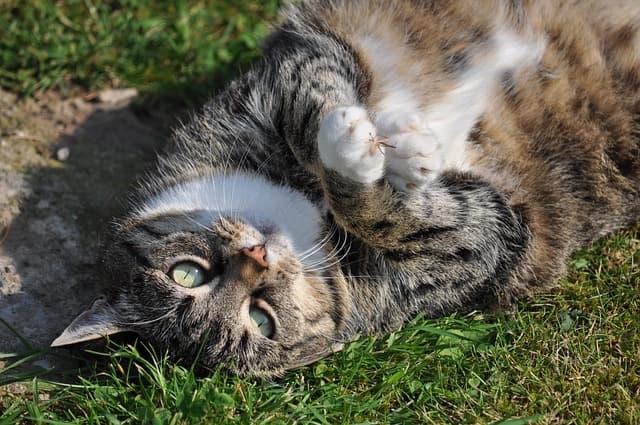 Diätplan für fette Katze